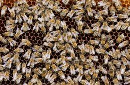 Bienen-Carnica-Waben-1143385